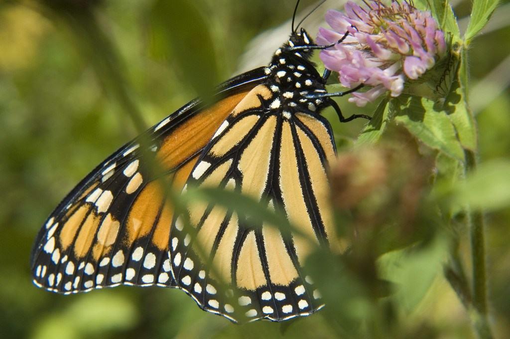 Monarch Butterfly Season in Southern California