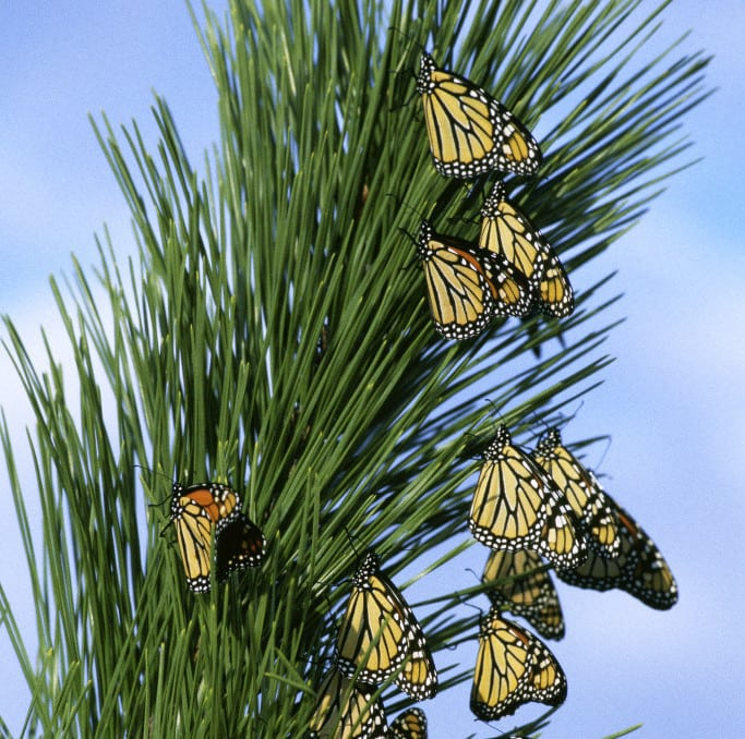 There Are Several Places To See Monarch Butterflies In Southern California  Between October U2013 March.
