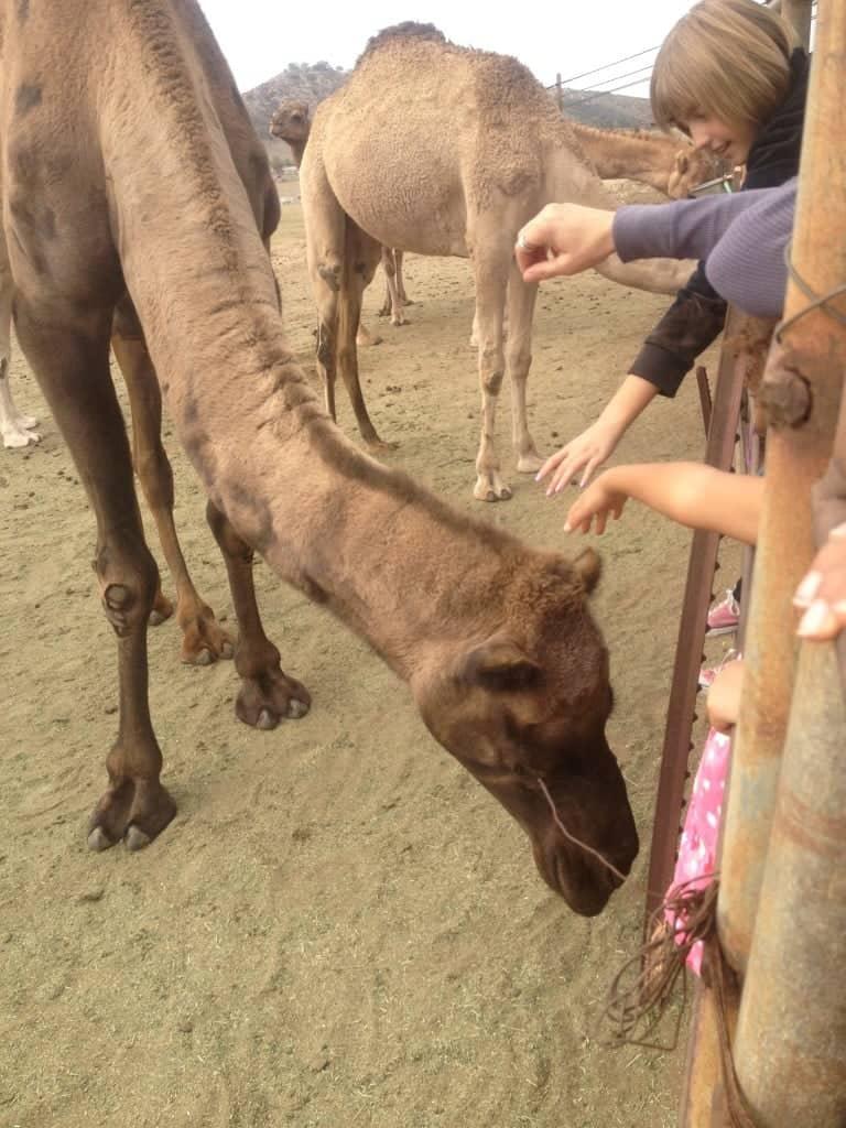 Camel Dairy in Ramona