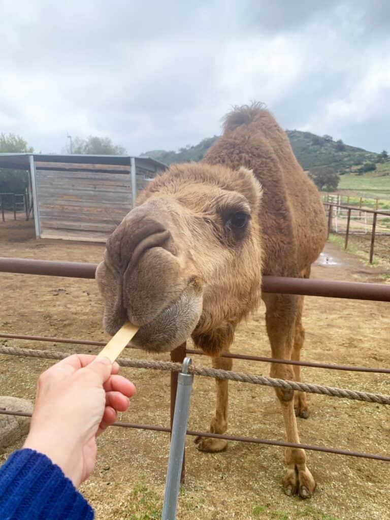 Camel Farm Tours California