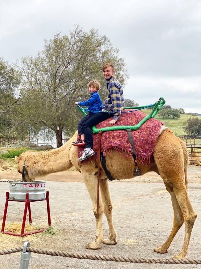 Camel Rides San Diego