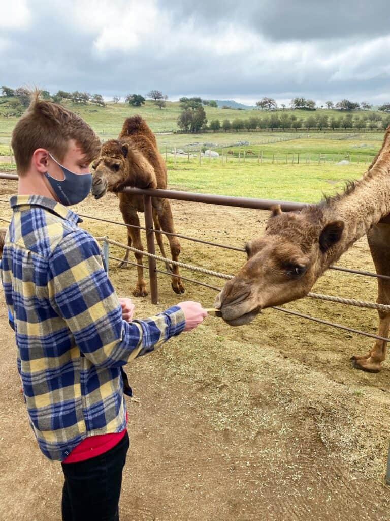 Camel Farm San Diego
