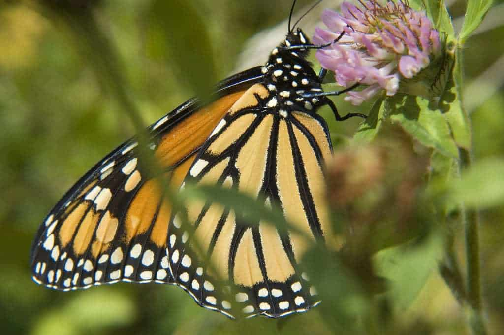 Do you love to watch butterflies in their natural habit? Then check out this list of 30+ parks, butterfly sanctuaries and nature playgrounds in Southern California where you can watch Monarch Butterflies migrate from California to Mexico every winter.
