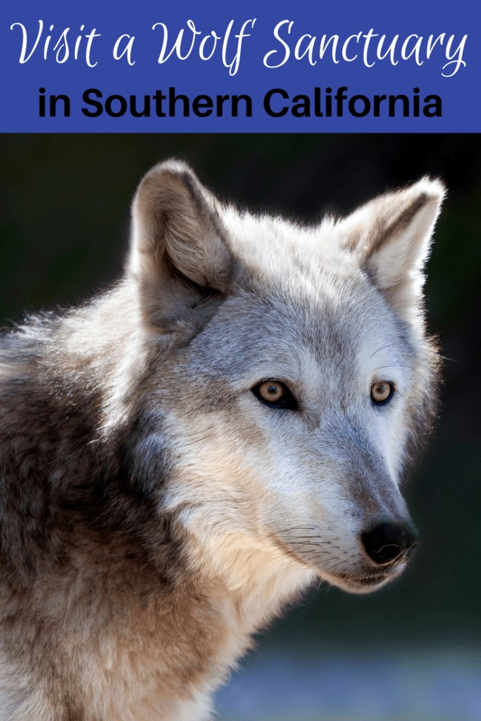 Are you an avid animal lover? Check out this list of where to see and learn about wolves in Southern California. There are many wolf sanctuaries open to the public in Los Angeles all the way down to San Diego.