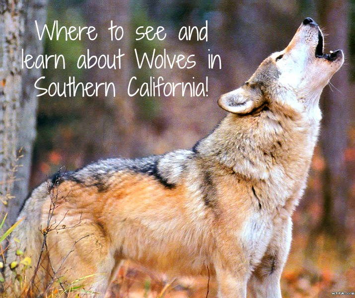 Are you an avid animal lover? Check out this list of where to see and learn about wolves in Southern California. There are many wolf sanctuaries open to the public in Los Angeles all the way down to San Diego, and beyond.