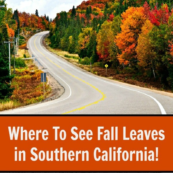 Where to see fall leaves in Southern California. From Santa Barbara to San Diego, you can see autumn leaves change from yellow to orange to red.