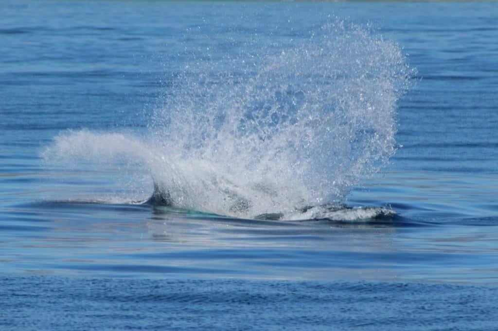 Whale swimming in the water near Santa Barbara