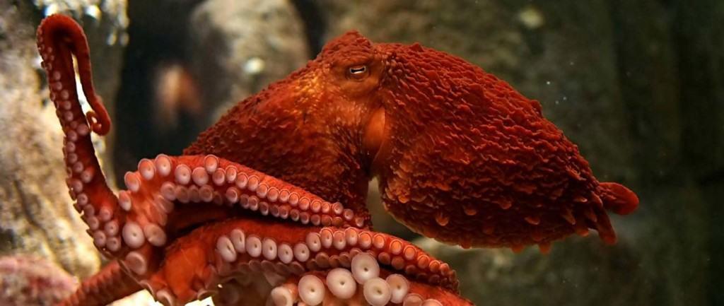 giant-pacific-octopus-at-the-monterey-bay-aquarium