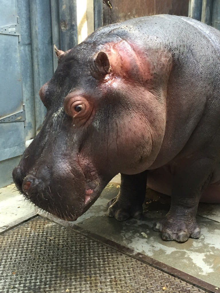 The Hippo Encounter at the Los Angeles Zoo costs $15 on top of the normal price of admission.