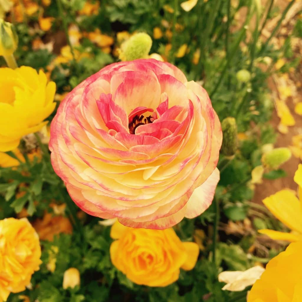 The nearly fifty acres of Giant Tecolote Ranunculus flowers that make up the Flower Fields in Carlsbad, California are in bloom every year from approximately early March through early May.