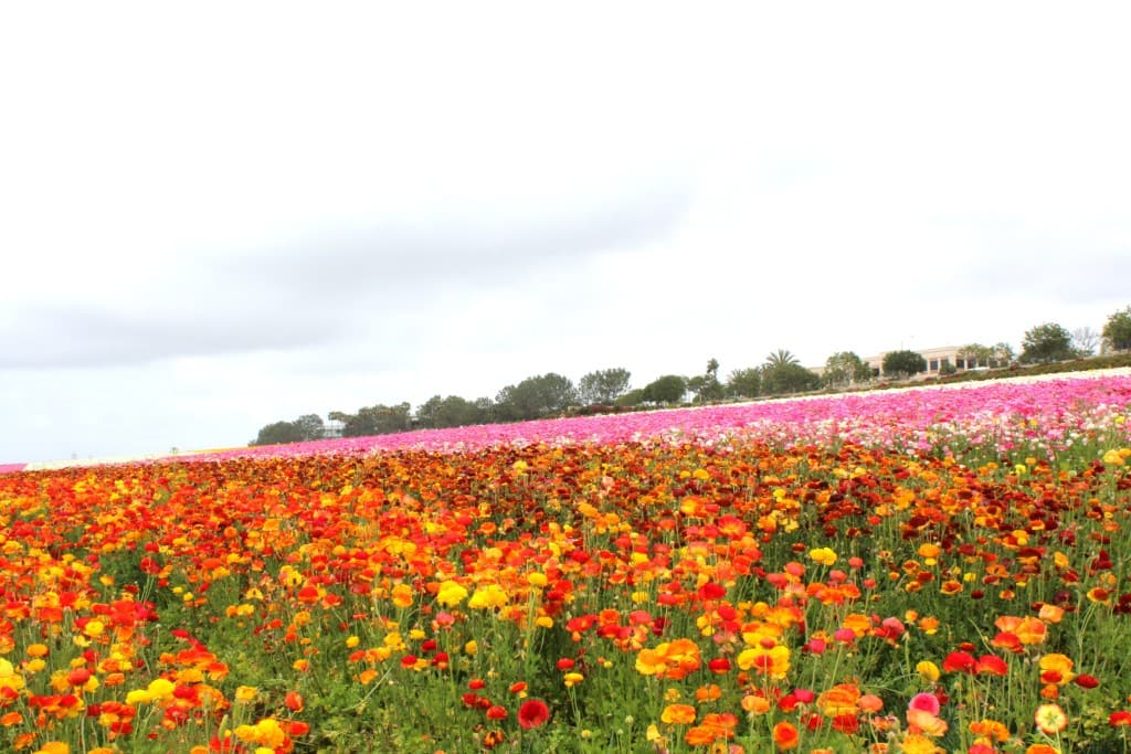 The Flower Fields In Carlsbad Are Open March