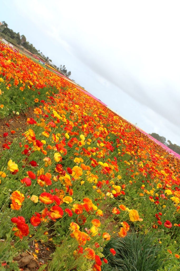 The-Flower-Fields-in-Carlsbad-are-open-March-May-every-year-11
