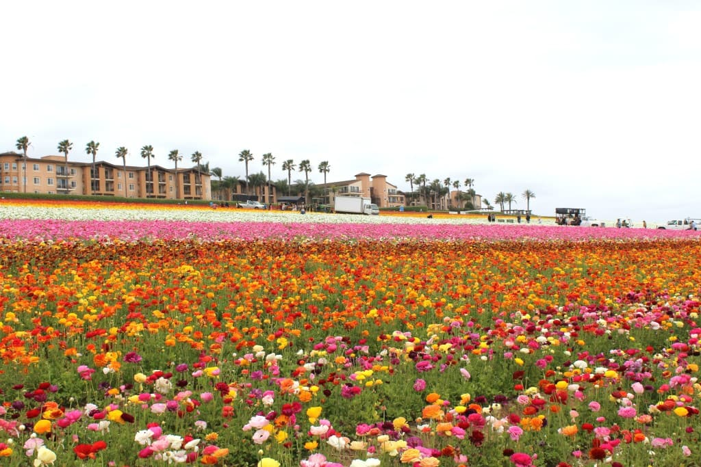 The-Flower-Fields-in-Carlsbad-are-open-March-May-every-year