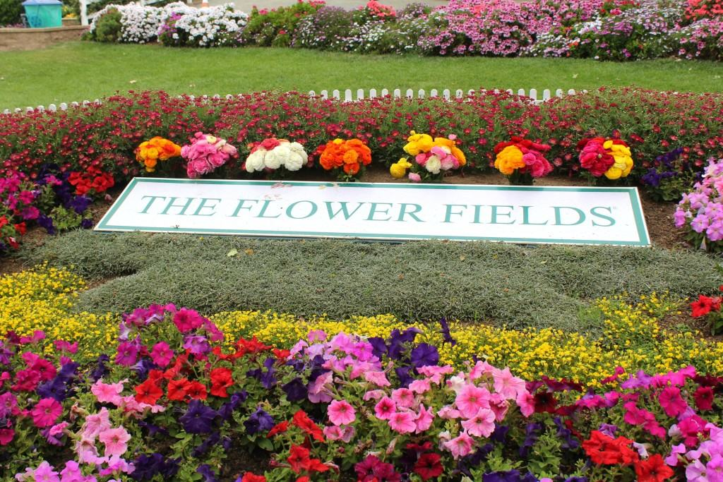 Incroyable The Flower Fields In Carlsbad Are Open March