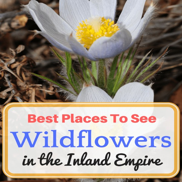 In the spring, California's deserts and inland valleys explode into a rainbow of colors producing red, pink, yellow, purple, blue and white wildflowers. So, check out this list of the best places to see wildflowers in Riverside and San Bernardino, California.