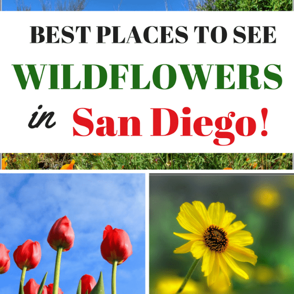 Are you planning a vacation to San Diego? Check out this list of the Top 10 Places To See Wildflowers in San Diego in the spring.