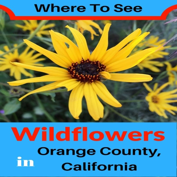 Plan a hike this spring to see the California wildflowers in bloom! Check out this list of the Best Places To See Wildflowers in Orange County from the coastal mountains of Laguna Beach to the California native wildlower garden at the Fullerton Arboretum.