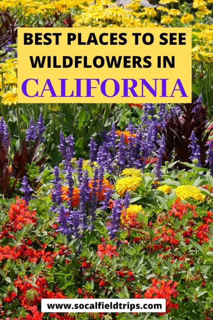 See the beautiful wildflowers in California this spring! Peak season for seeing wildflowers in Southern California can vary somewhat from year to year, based on rainfall amount and temperatures. Click here to read the full list of where to go and what types of flowers you will see including the famous California poppy.