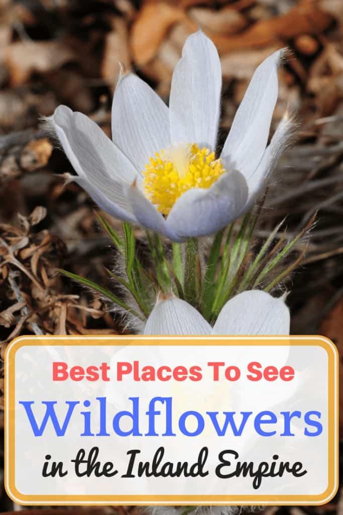 Where to see wildflowers in San Bernardino County