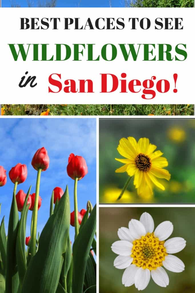Where to see wildflowers in San Diego