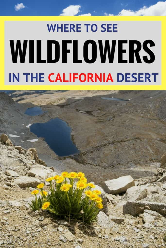 best places to see wildflowers in the California desert