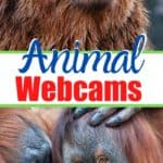 Looking for some heartwarming entertainment to enjoy from the comfort of your own home? We have rounded up the best live animal cams from around the world you can watch online for free. From beautiful penguins at the San Diego Zoo to adorable baby goats prancing around on the farm in upstate New York, these are sure to put a smile on your face..