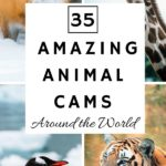 Looking for some heartwarming entertainment to enjoy from the comfort of your own home? We have rounded up the best live animal cams from around the world you can watch online for free. From beautiful penguins at the San Diego Zoo to adorable baby goats prancing around on the farm in upstate New York, these are sure to put a smile on your face.