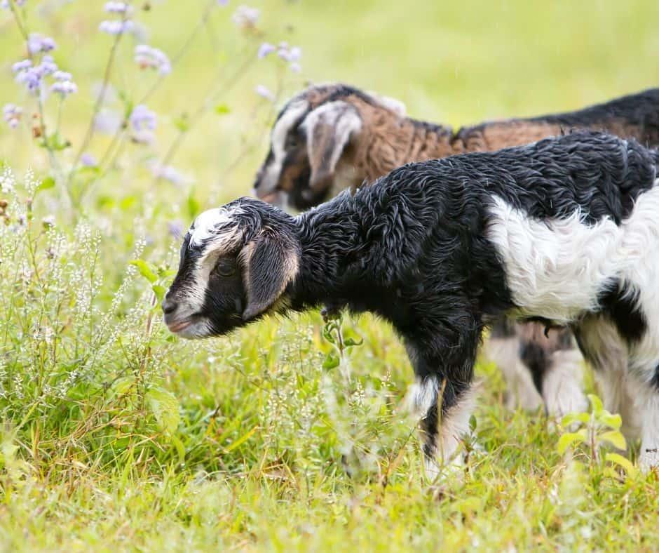Baby Goats Live Animal Cam