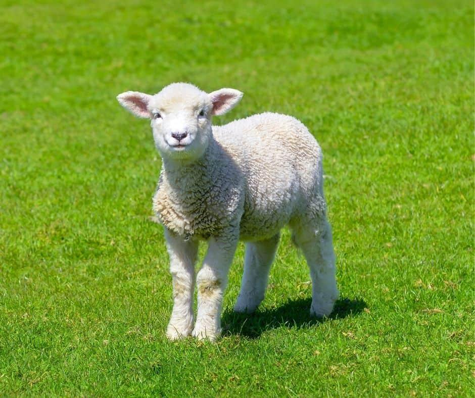 Sheep Live Animal Cams