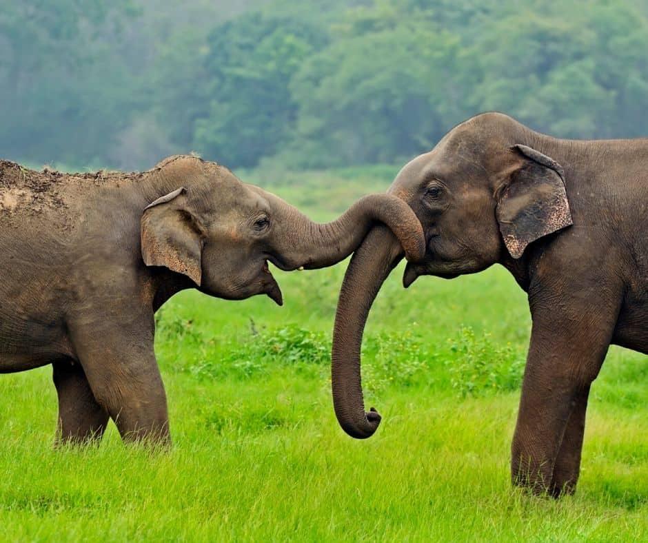 Asian Elephants Animal Cam