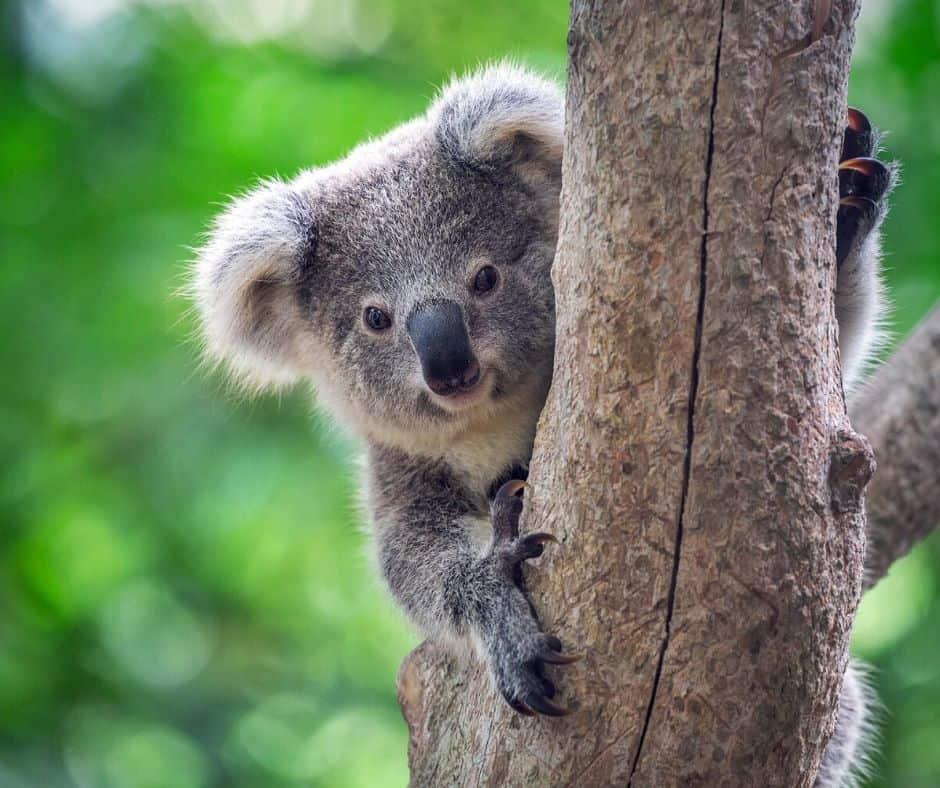 Koala Live Animal Cam