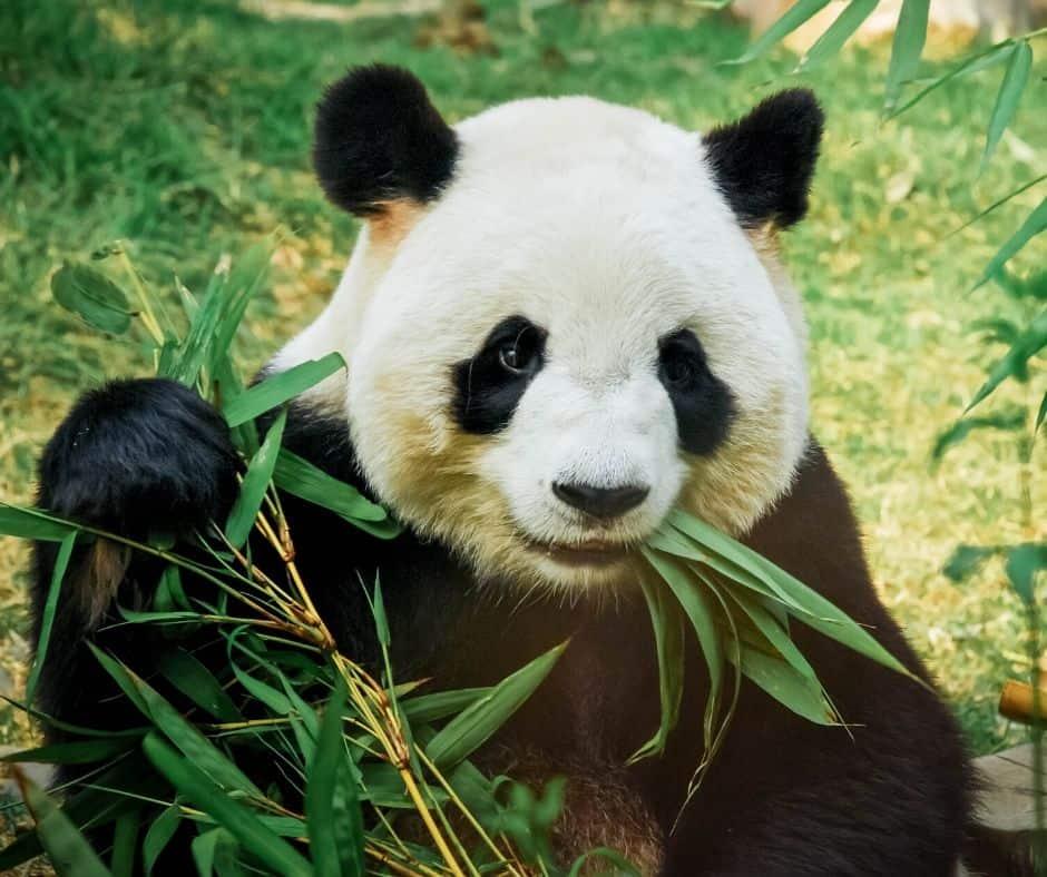 Panda Animal Cam