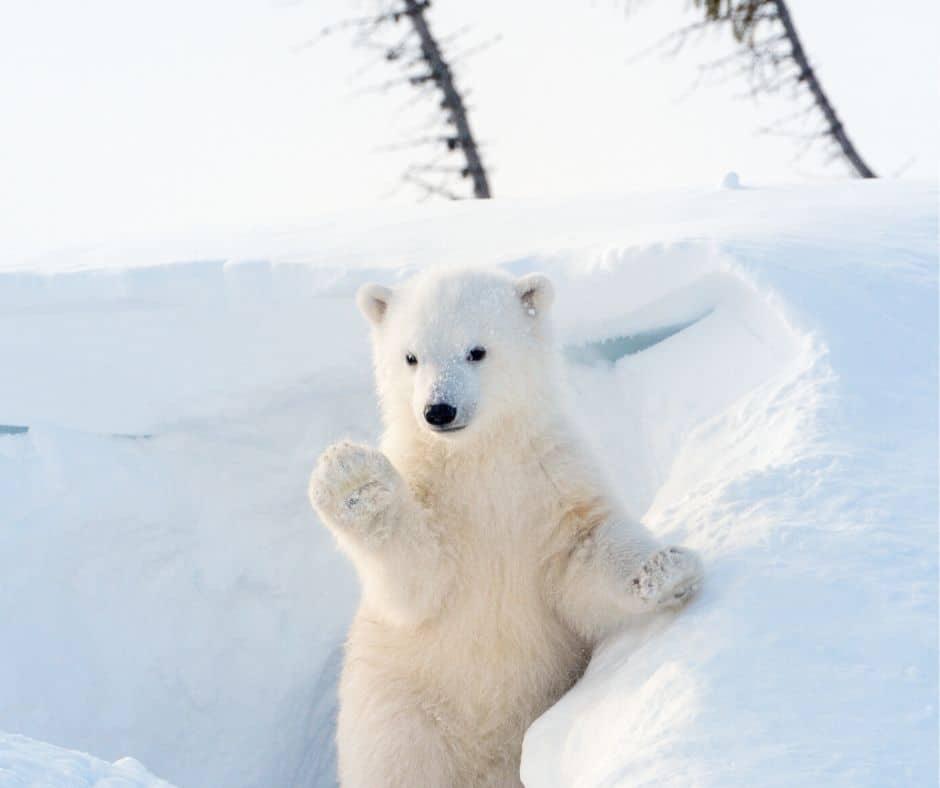 Polar Bear Animal Cam