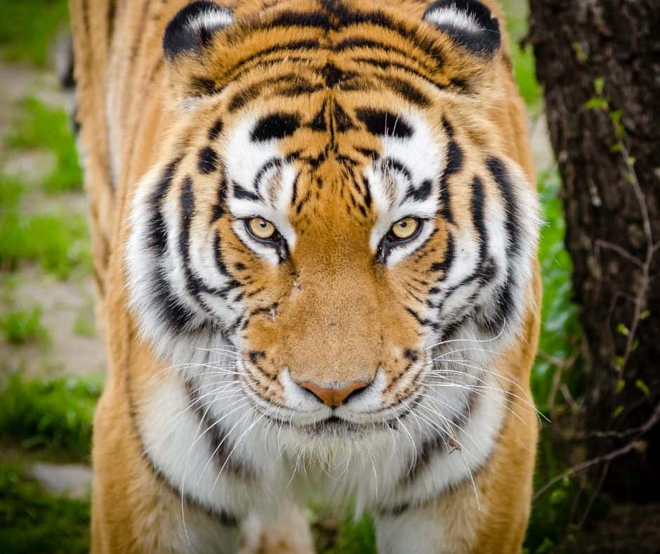Tiger Live Animal Cam