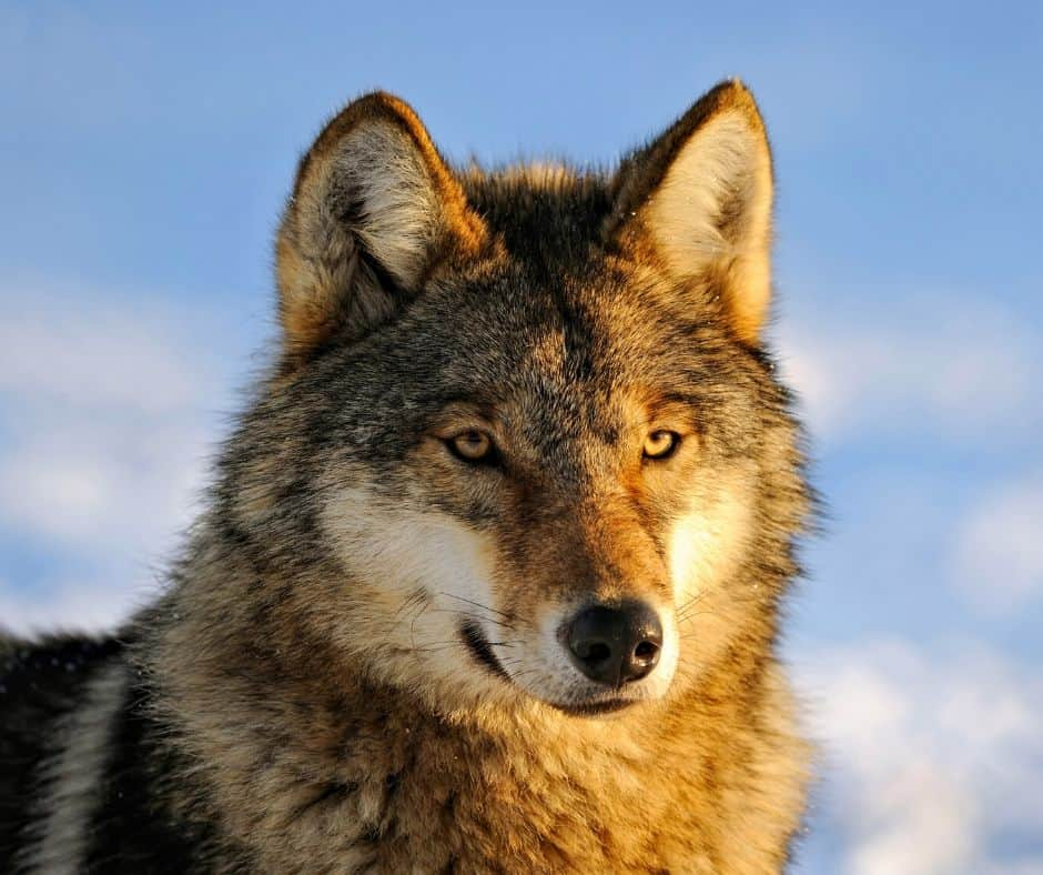 Wolves Animal Cam