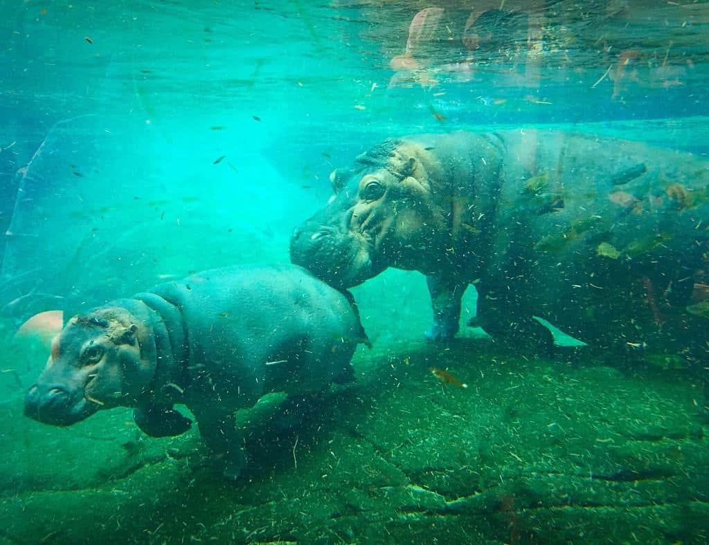Hippos at the San Diego Zoo