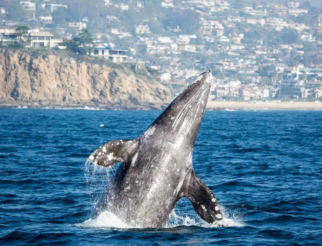 Whale Watching in La Jolla
