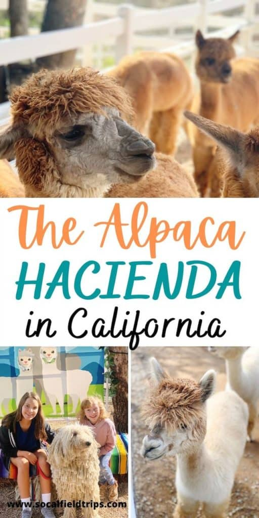 Take a tour and meet the inquisitive and friendly alpacas at The Alpaca Hacienda in Temecula, California. Tours are available for groups, schools and homeschools.