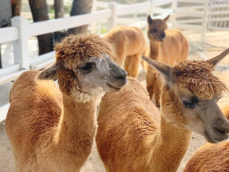 Alpaca Hacienda Temecula