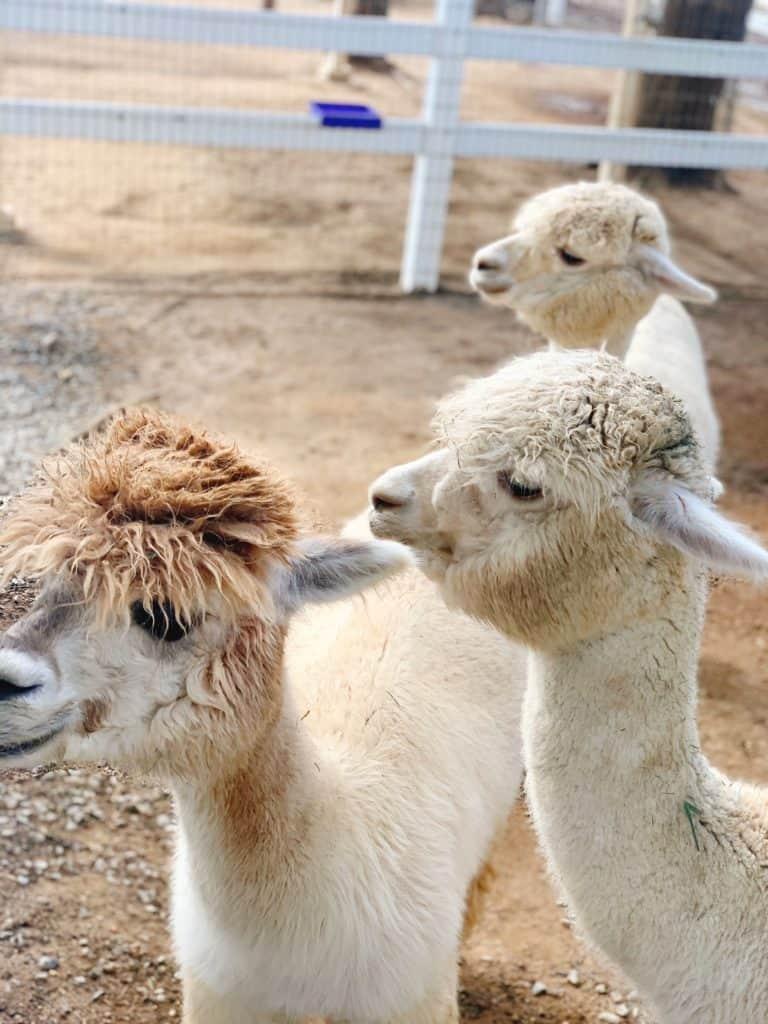 Alpaca Farm in Temecula