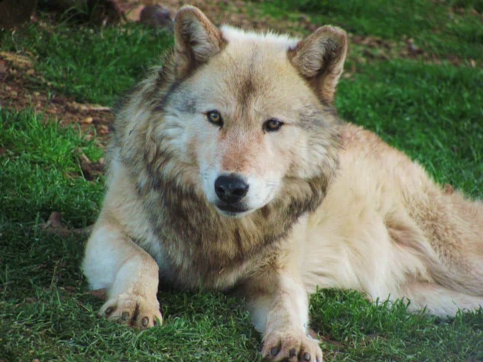 Adult Wolf