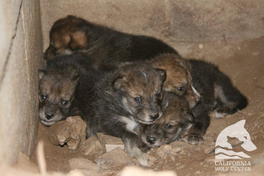 Baby wolves at the California Wolf Center