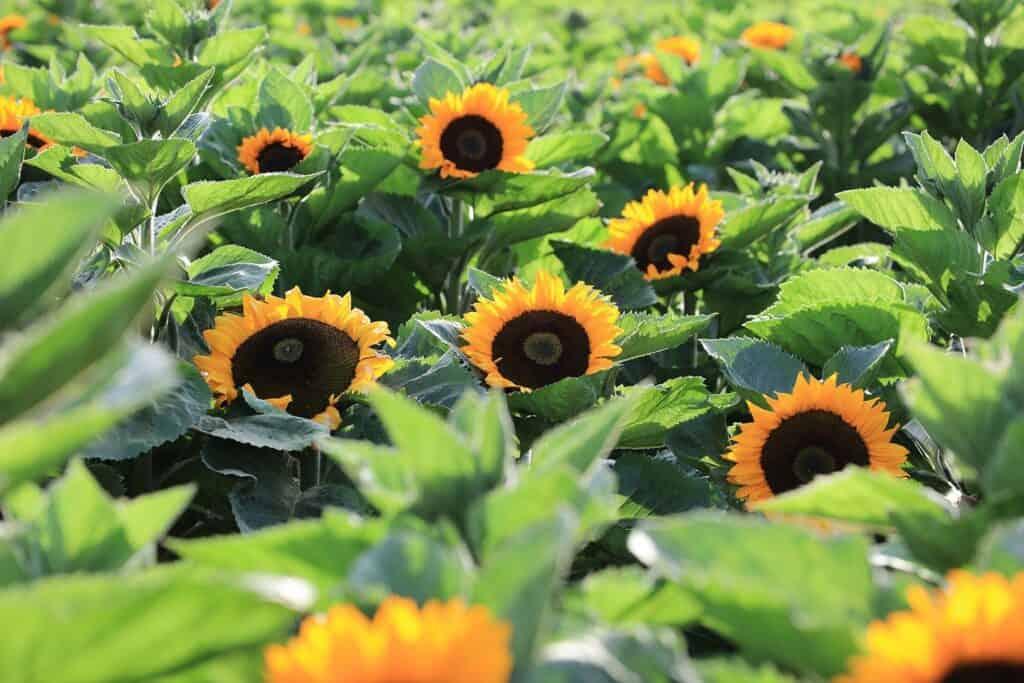 U-pick sunflower fields in California