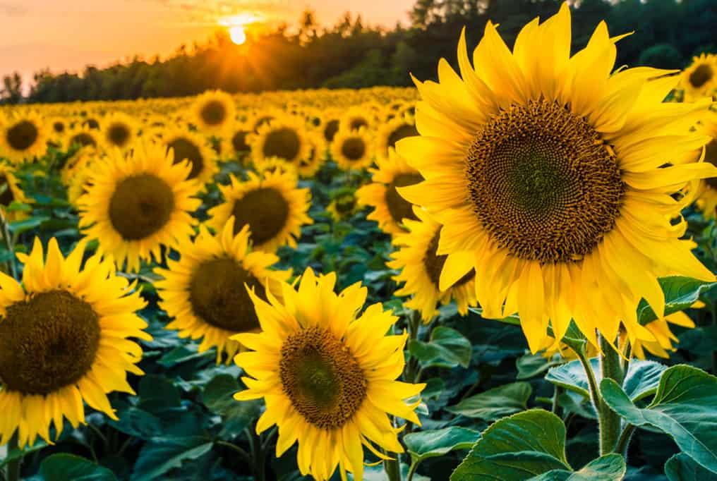 where to pick sunflowers in California